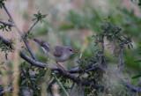 Upcher's Warbler - Hippolais languida
