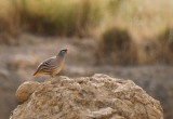 Male singing from See-see Patridge - Ammoperdix grisogularis - Perdiz gorgigrís - Perdiu Golagrisa