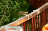 Eatern Olivaceus Warbler - Hippolais (pallida) pallida - Zarcero palido oriental - Bosqueta pal·lida oriental