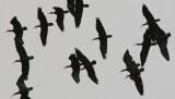 Bald Ibis - Geronthicus eremita - Ibis calvo - Ibis eremita