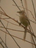 Iraq Babbler - Turdoides altirostris