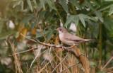 Adult Female Menetris Warbler - Sylvia mystacea