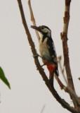 Syrian Woodpecker - Dendrocopos syriacus