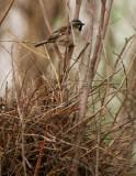 Adult male Dead Sea Sparrownext to the nest  - Passer moabiticus
