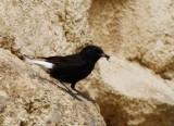Black Wheatear - Oenanthe leucura - Colit negre - Collalba negra - Traquet rieur