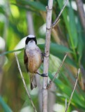 Pendulin Tit - Remiz pendulinus - Pájaro Moscón - Teixidor - Tejedor