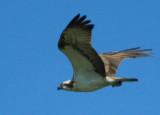 Osprey - Pandion haliaetus - Águila pescadora - Àguila pescadora