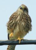Kestrel - Falco tinnunculus - Cernicalo comun - Xoriguer