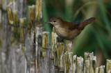 Savi's Warbler - Locutella luscinoides - Savisanger - Boscaler comú - Buscarla unicolor