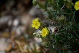 Common Rockrose - Helianthemum nummularium