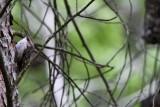 Short-toed treecreeper - Certhia brachydactyla - Agateador común - Raspinell comú