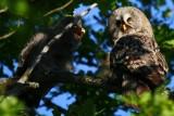 Great Grey Owl - Strix nevulosa - Gamarús de Lapònia - Carabo Lapón