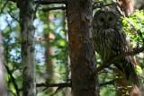 adult Ural Owl - Strix uralensis - Carabo uralense - Gamarus dels Urals adult