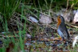 Robin - Erithacus rubecula - Petirojo - Pitroig