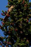 Siberian jay - Persiforius infaustus - Arrendajo funesto - Gaig siberia