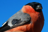 Bullfinch - Pyrrhula pyrrhula - Camachuelo común - Pinsà Borroner - Bouvreuil pivoine