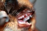 Bat - Murcielago - Ratpenat - Murisec