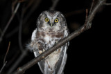 Tengmaln's Owl - Aegolius funereus - Lechuza de Tengmalm - Mussol Pirinenc - Miloca - Chouette de Tegmalm - Raufusskauz