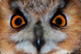 Long-eared Owl - Asio otus - Mussol Banyut - Buho chico - Hibou moyen-duc