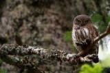 Pigmy Owl - Glaucidium passerinum - Mochuelo Chico o Boreal - Mussol menut - Chevêchet d'Europe