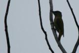 Grey-headed Woodpecker - Picus canus - Pito o Pico Cano - Picot cendrós - Pic cendré - Grauspecht - Piccio cenerino