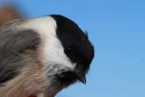 Marsh Tit - Parus palustris - Carbonera palustre - Mallarenga d'aigua - Mésange - nonnette - Sumpfmeise - Cincia bigia