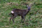 Roe deer - Capreolus capreolus - Corzo - Cabirol