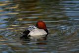 Common pochard - Aythya ferina - Porron comun - Morell caproig