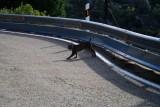Crossing the road - Pardel Lynx or Iberian Lynx - Lynx pardinus - Lince Ibérico - Linx ibèric