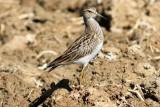 Juvenile Pectoral Sandpiper - Calidres melanotos - Correlimos pectoral joven - Territ pectoral jove