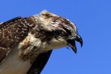 Osprey with a fish bone stock in it's throat - Pandiona haliaetus - Águila pescadora - Àguila peixatera