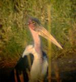 Marabou Stork Gallery