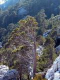 Deformed pine - Pino deformado por el viento - Pi deformat pel vent