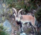 Male Spanish Ibex - Cabra hispanica o C. pyrenaica  - Macho de Cabra Montés - Mascle de Cabra Salvatge