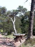 Erosion and a lucky pine - L'erosión y un pino con suerte