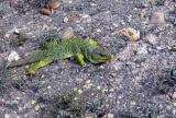 Ocellated lizard - Lacerta lepida - Lagarto ocelado - Llangardaix ocel·lat