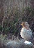 Stone curlew - Burhinus oedicnemus - Alcaravan - Torlit - Triel