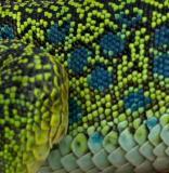 Detail of the scales of an Ocellated lizard - Lacerta lepida - Lagarto ocelado - Llangardaix ocelat
