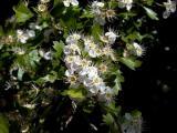 Crataegus monogina - Arç blanc -