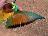 Bee-eater - Merops apiaster - Abejaruco - Abellarol