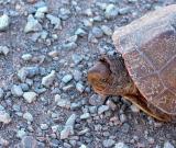 Mauremys leprosa - Galapago leproso - Tortuga de rierol