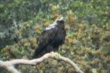Adult Spanish Imperial Eagle - Aquila adalberti - Aguila Imperial Ibérica - Àguila Imperial Ibèrica