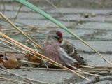 Redpoll - Gråsisken - Carduelis flammea - Pardillo sizerín - Passarell golanegre