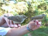 Garden warbler - Sylvia borin - Curruca mosquitera - Tallarol gros