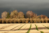 Filbert orchard and wheat stubble