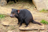 Tasmanian Devil - not cuddly