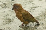 Kea bird - smart and naughty fellow
