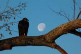 Mr. Buzzard likes the moon, too.