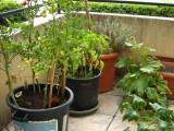 tomates + poivrons + courgettes