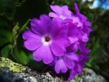primevère du Piémont ?Primula pedemontana